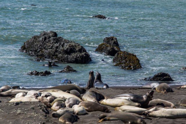 Adorable seals in the Lost Coast Trail