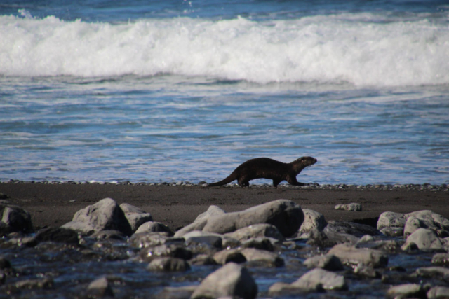 Sea lion walking in the seashore during Lost Coast Adventure Tours