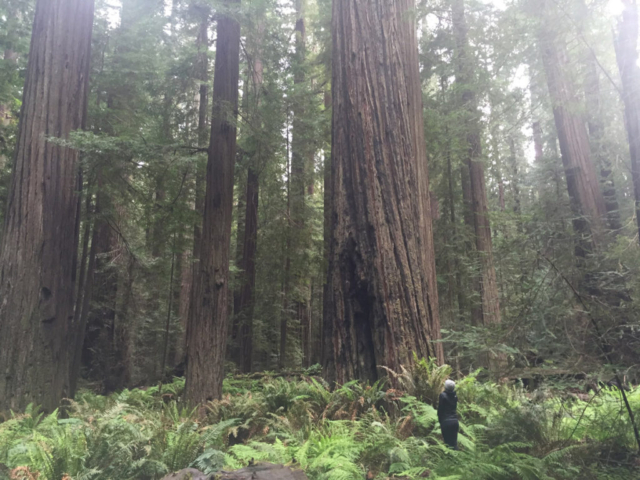 Hiking under the big trees with Lost Coast Adventure Tours