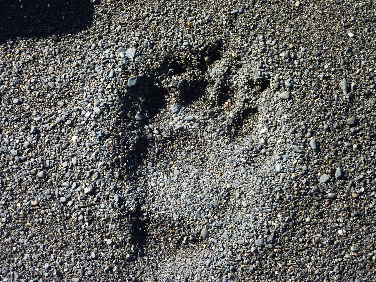 Sea Lion's footprint on Lost Coast Adventure Tours