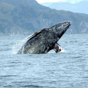 Gray whale breaching